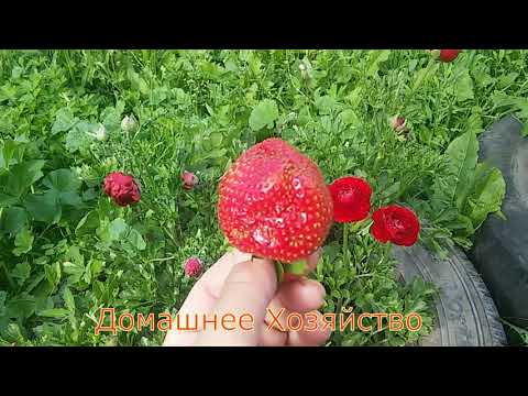 Земляника в СИБИРИ//ДАРСЕЛЕКТ