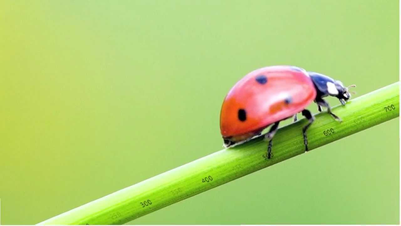 100上小領袖 大班 第二主題#可愛小瓢蟲