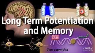 Long Term Potentiation and Memory Formation, Animation