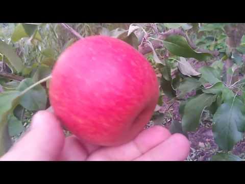 Яблоня сорт зимний Эвелина
