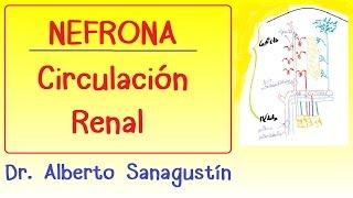 Español ¿qué hacen los capilares peritubulares