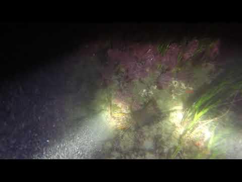 Malibu night dive for Lobsters!
