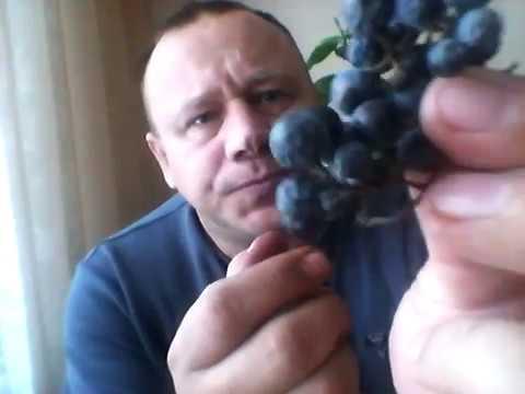 Вино из Амурского винограда