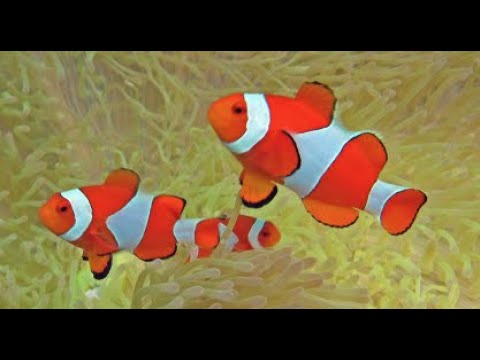 10 Funny Things About Clownfish