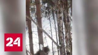 Волки и медведи нападают на человека - Россия 24
