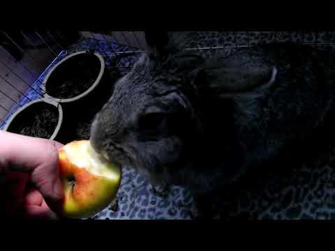 Konijntje eet appel uit hand