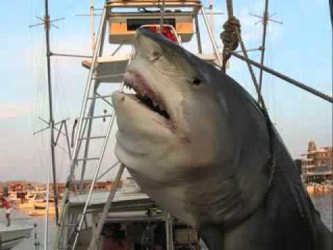 Fattest Shark Ever Lol Fattest Shark Ever!!!!.flv