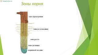 Вегетативные органы растений  Корень1 видеоурок