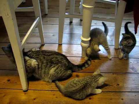 Kittens - British cat Whiskas
