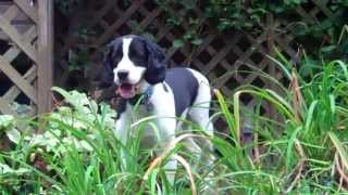 English Springer Spaniel:  Maessr Presents Payton