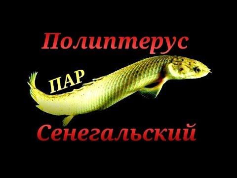 Аквариумные рыбки. Полиптерус Сенегалький