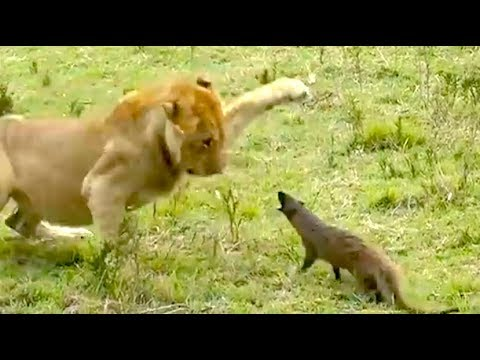 Bewertungen von Ozzy Man: Mungo gegen Löwen