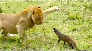 Ozzy Man Reviews: Mongoose vs Lions