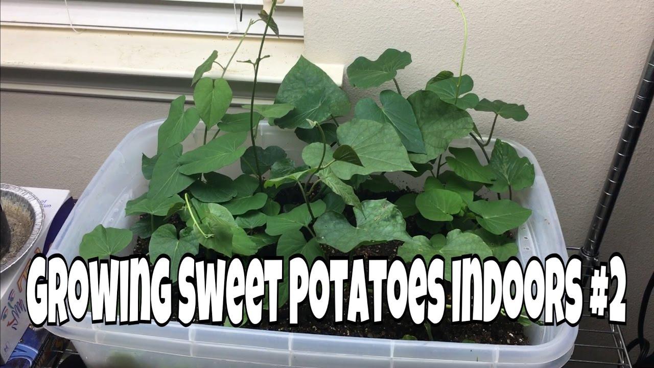 Growing Sweet Potatoes Indoors 2 Youtube