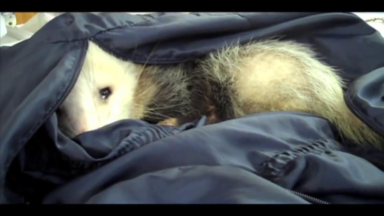 possumwood acres wildlife sanctuary youtube 720p youtube