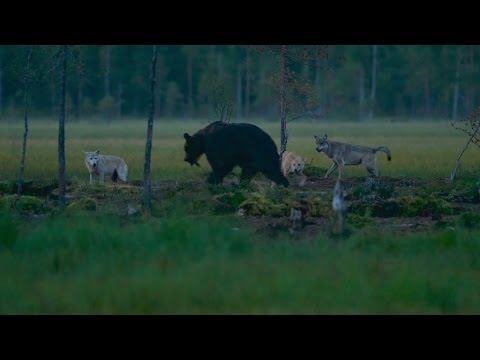 Bears Fight With Wolves, Finland. English Subtitles.