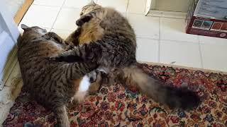 Драка двух толстых котов
