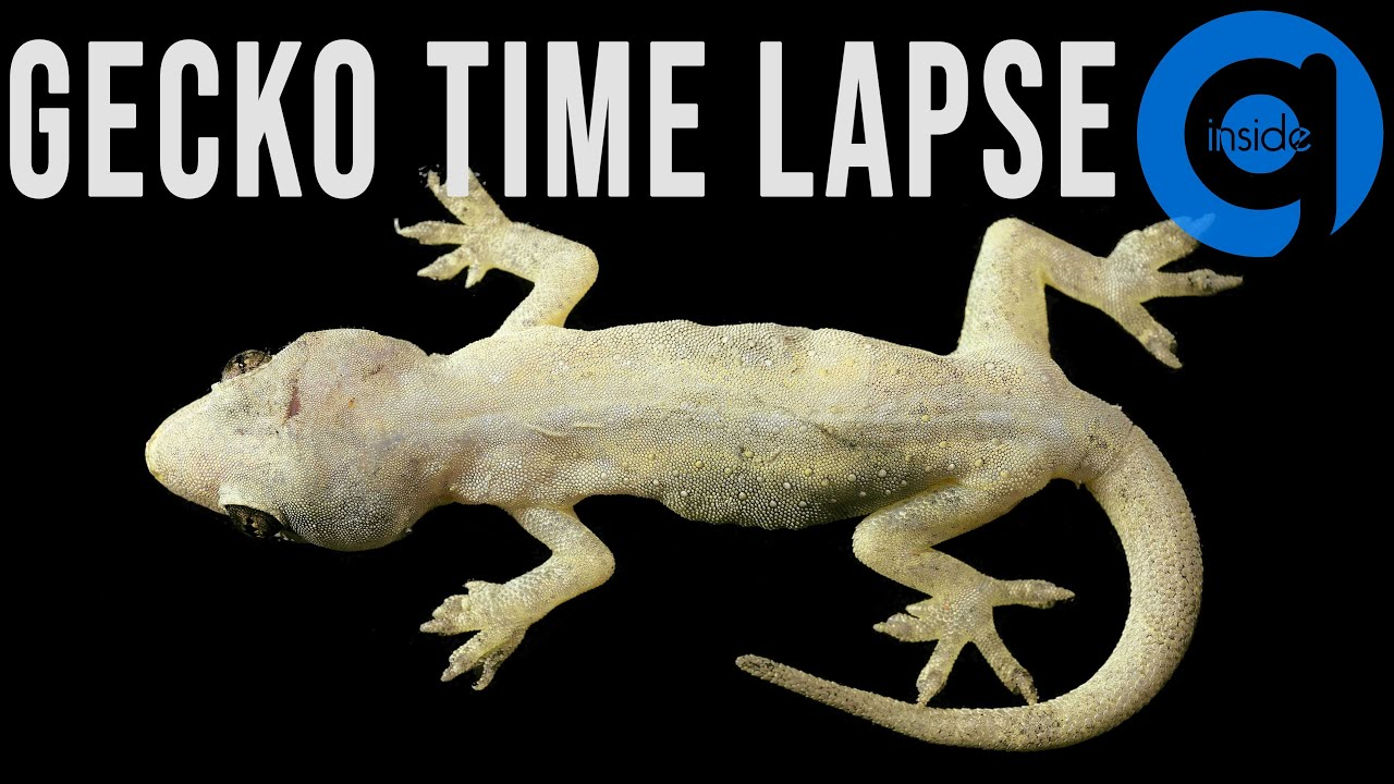 House Gecko (Lizard) Time Lapse