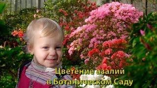 Цветущие азалии. Цветение азалий в Ботаническом Саду.(Слайд-шоу