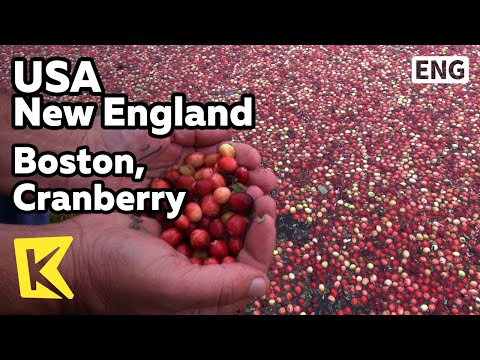 【K】USA Travel-New England[미국 여행-뉴잉글랜드]보스턴, 크랜베리 수확 현장/Boston/Cranberry/Harvest/Field