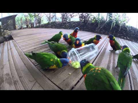 Aquarium of the Pacific | Aquarium Blog | Lorikeet Feeding Frenzy ...