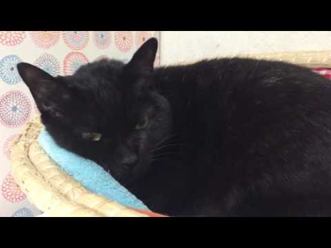 【可愛い猫】咳に反応して鳴きまくる猫'Cats react to coughing, singing'