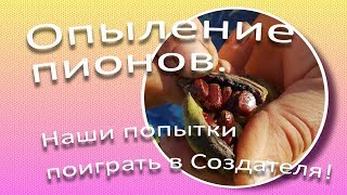 Опыление пионов. Наши попытки поиграть в Создателя! / Сад Ворошиловой