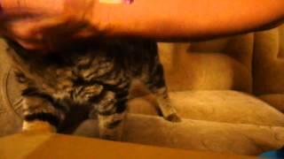 как расчесать британского кота
