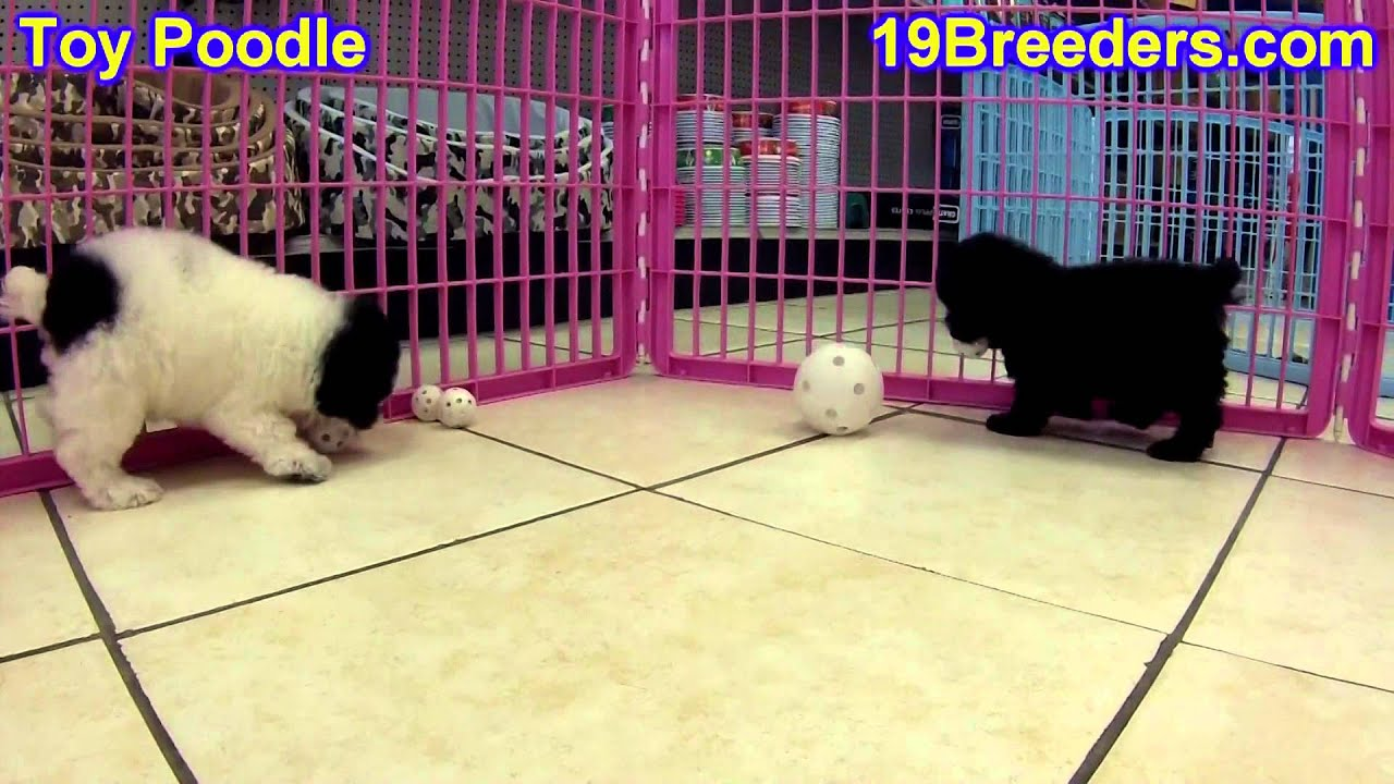 Toy Poodle Puppies For Sale In South Bend Indiana