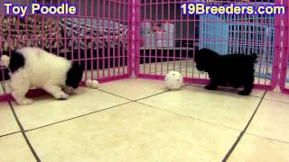 Toy Poodle, Puppies, For, Sale, In, South Bend, Indiana, County, IN, Allen, Hamilton, St  Joseph, Va