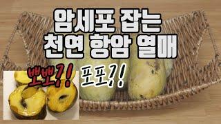 항암효과 탁월~포포나무열매는 무슨 맛일까요?