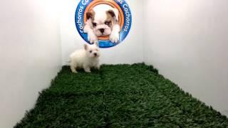 West Highland White Terrier Macho En Cachorros Y Mas Cachorros