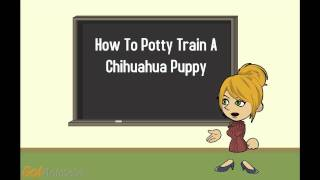 Chihuahua Potty Training Part 1