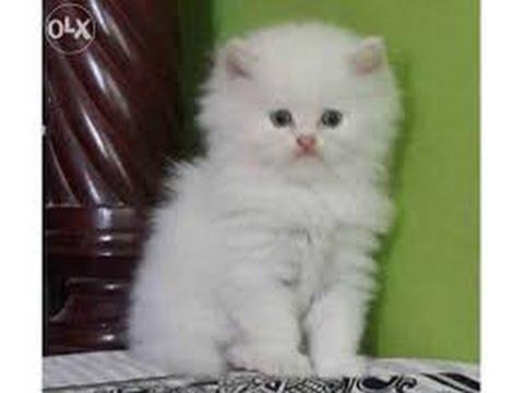 Doll face persian kittens for sale mumbai