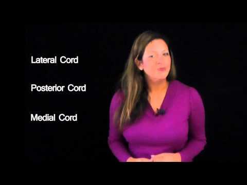 Funky Anatomy EXAM ANSWERS Brachial Plexus Made Easy