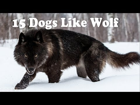 15 Dogs that look like wolves
