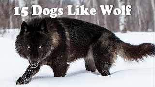 Скачать 15 Dogs That Look Like Wolves