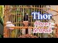 Kacer Konslet Buka Ekor Thor Kacer Terbaik  Mp3 - Mp4 Download