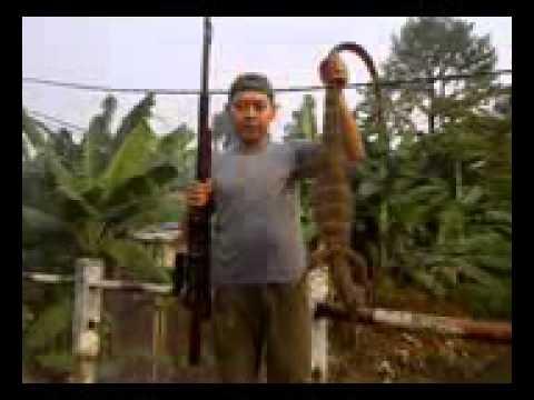 Berburu Tekukur di Kawasan Pertanian Karawang YouTube