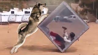 Японское шоу: Борьба с волком  / маламут и хаски против хомяка