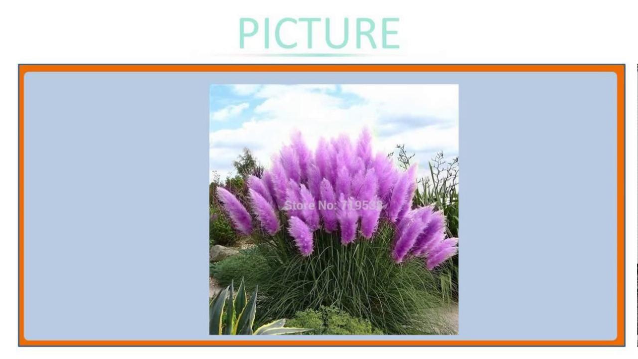 New Rare Impressive Purple Pampas Grass Seeds Ornamental Garden Plants Flowers