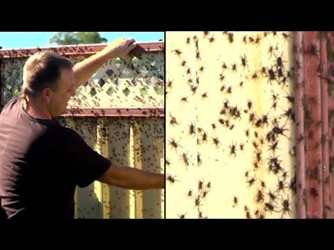 Thousands of Spiders Flee Floods in Australia