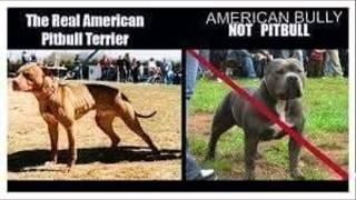 Real American Pit Bull Terriers, Pit Bulls, Pits