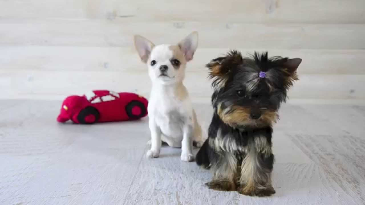 Yorkshire Terrier And Chihuahua Youtube