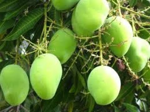How to Manage scientifically your Mango Plantation