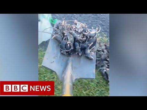 Mouse plague deals fresh blow to Australian farmers - BBC News