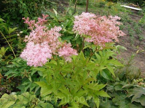 Лабазник – полезные свойства и применение лабазника