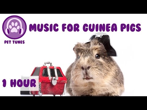 1 Hour of Calming Relaxation Music for Guinea Pigs! Guinea Pig Music to Relax Your Pets