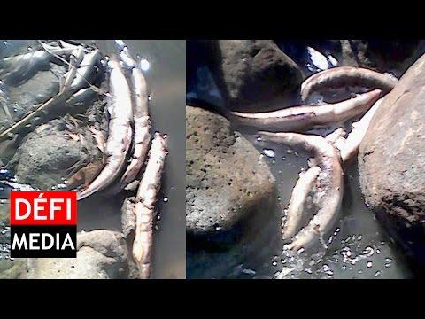 Pollution: anguilles et poissons morts dans la rivière Tabac