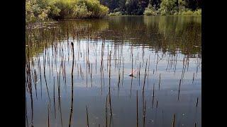 Закинул поплавок в ХВОЩ сразу ПОПЁР КАРАСЬ Ловля карася на реке Рыбалка на поплавочную удочку